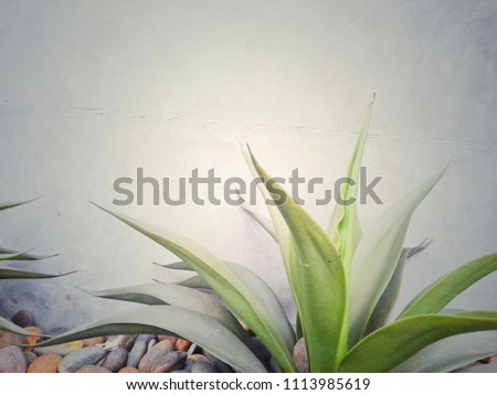 The green plant has no trunk, but has thick and slender leaves, which are walled cement. #1113985619