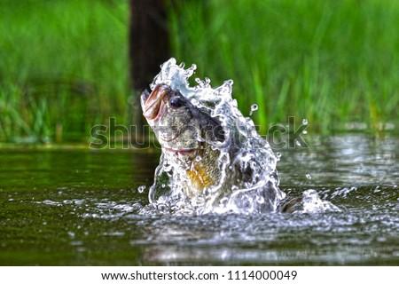 Jumping bass, Pine log forest, Panama City Beach, Florida #1114000049