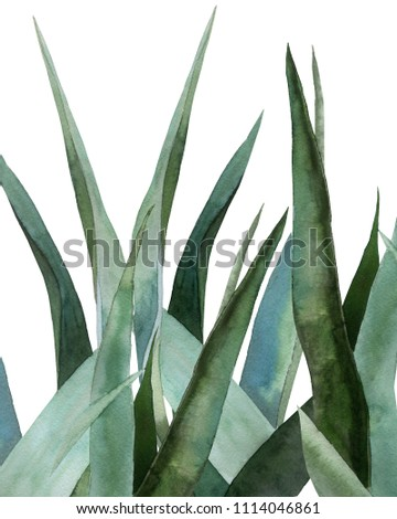 Agave plant. Watercolor illustration on white. #1114046861