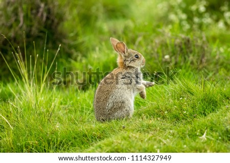 Wild, native young rabbit (Oryctolagus cuniculus) eating grass and grooming on a Summer's morning in North Yorkshire, England, UK.  Rabbit is facing right.  Landscape.