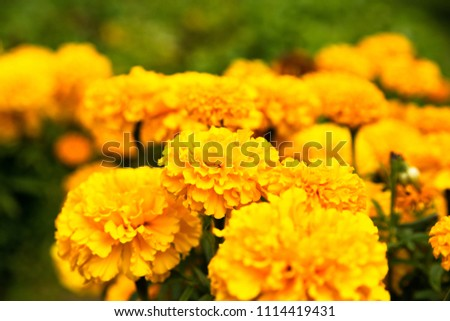 Close up of beautiful Marigold flower blooming in the garden. Tagetes erecta, Mexican, Aztec or African marigold #1114419431