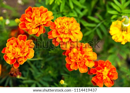 Close up of beautiful Marigold flower blooming in the garden. Tagetes erecta, Mexican, Aztec or African marigold #1114419437