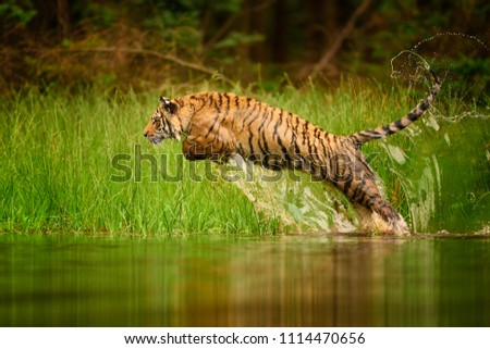 Siberian tiger, Panthera tigris altaica, low angle photo in direct view, running in the water directly at camera with water splashing around. Attacking predator in action. Tiger in taiga environment