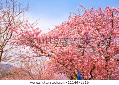 Kawazu cherry tree #1114478216