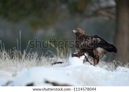 golden eagle (Aquila chrysaetos), in the snow eating carola from a small #1114578044