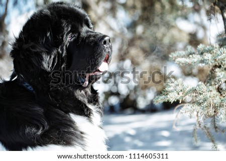 Black and white Newfoundland on the road with snowy trees. Dog on walk in the winter. In thoroughbred dogs nose stained snow. Newfoundland playing in the snow. #1114605311