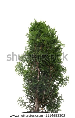 Juniperus chinensis Stricta Variegata in a pot isolated on white background. Coniferous trees. Flat lay, top view #1114683302