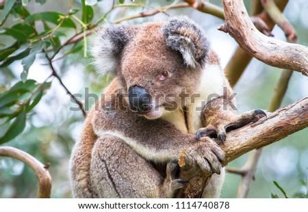An adult koala (Phascolarctos cinereus) in a eucalyptus tree in the Great Otway National Park, Victoria, Australia. #1114740878