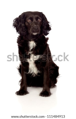 Beautiful black Cocker Spaniel isolated on white background #111484913