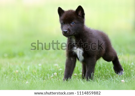 The gray wolf (Canis lupus) also known as the timber wolf,western wolf or simply wolf. Young wolf puppy in green grass. #1114859882