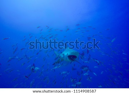 shark in deep blue ocean with a school of fishes