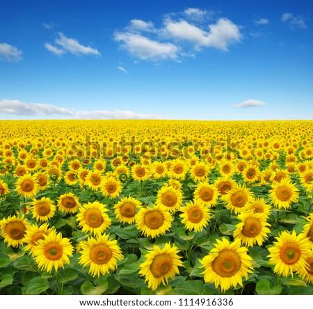 sunflowers field on sky background #1114916336