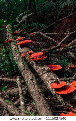 Red mushrooms fungi growing on tree in forest, South Africa #1115027540