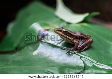Polypedates leucomystax On the lotus leaf #1115168747