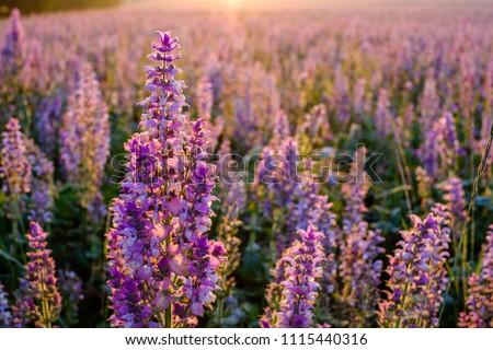 Clary sage field, sunrise. Valensole, Provence, France. #1115440316