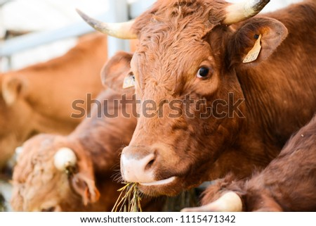 cow and brown cattle herd in small breeding husbandry livestock farming production industry ranch #1115471342