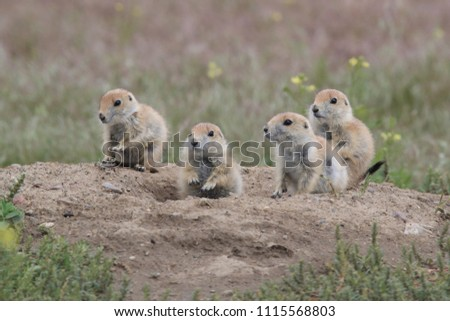 Black Tailed Prairie Dog babies playing eating and interacting at their hole in First Peoples Buffalo Jump State Park Montana USA #1115568803