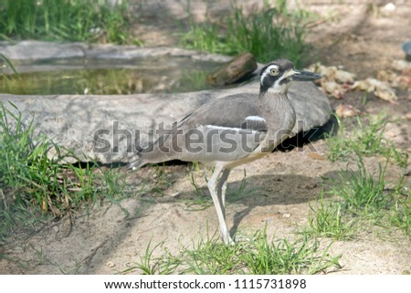 this is a side view of a beach stone curlew #1115731898