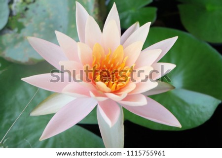 Beautiful white lotus isolated on a green leafy background. #1115755961