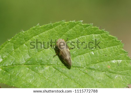 A stunning Common Froghopper (Philaenus spumarius) also called spittlebug or cuckoo spit insect perching on a leaf. #1115772788
