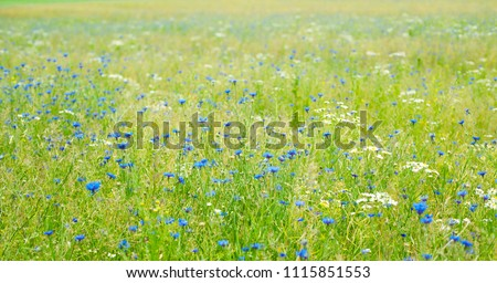 Beautiful Nature Summer landscape with selective focus. Blue Cornflowers growing the flowers meadow. Flowers field Background. Wide Angle Horizontal Wallpaper or Web Banner