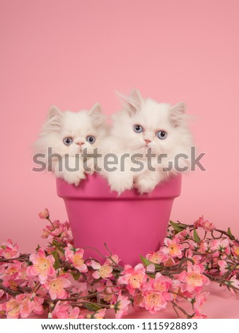 Two white persian longhair kittens with blue eyes in a pink flowerpot on a pink background