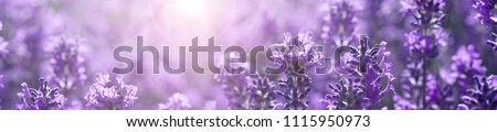 panorama field lavender morning summer blur background. spring lavender background. flower background. shallow depth of field #1115950973