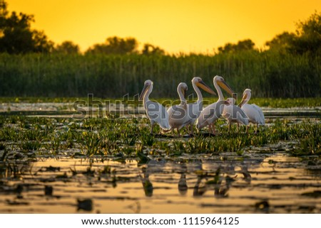Pelicans at sunset in Danube Delta, Romania
