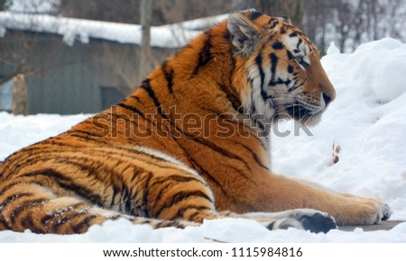 Tiger close up: The tiger (Panthera tigris) is the largest cat species. It is the third largest land carnivore (behind only the polar bear and the brown bear). #1115984816
