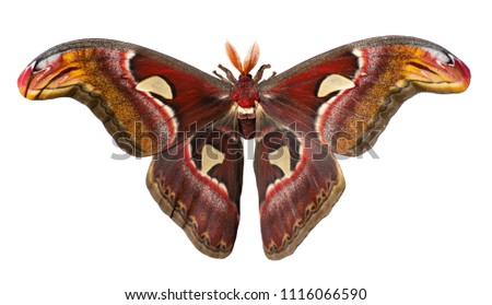 Male giant atlas silk moth, Attacus atlas, isolated on white background. Atlas moth is one of the largest moths in the world. It has snake head-like images on tips of wings and feather-like antennae #1116066590