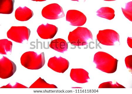 Red rose petals flower backgroud texture #1116118304