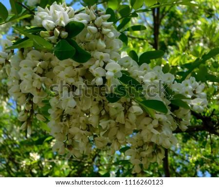 Black Locust, Robinia pseudoacacia #1116260123