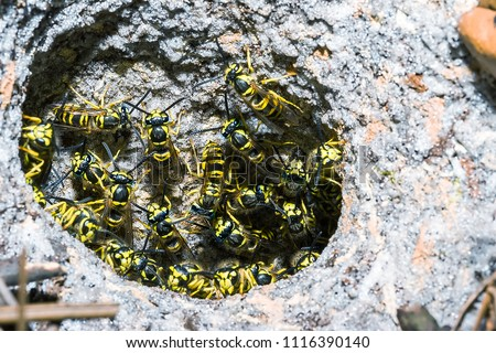 Nest of the Eastern yellowjacket wasp (Vespula maculifrons). This is a very aggressive species often considered a pest. This photo was taken in Florida, USA  #1116390140