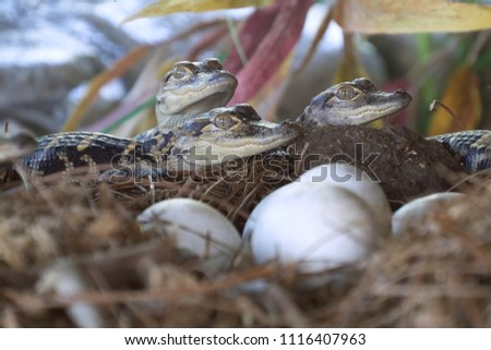 Alligator hatchlings emerge. Newborn alligator near the egg laying in the nest. Little baby crocodiles are hatching from eggs. Baby alligator just hatched from egg. #1116407963