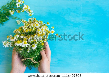 Young Caucasian Woman Hold Bouquet of Freshly Picked Camomile Flowers Tied with Twine on Light Blue Wood Table. Beauty Skin Care Healthy Infusions Tea Detox Concept. Process of Drying Medicinal Herbs. #1116409808