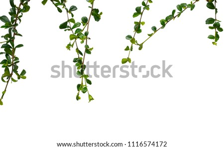 vine plants isolate on white background , clipping path included #1116574172