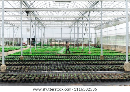Blurred worker watering plant in green house on morning light. Worker care plant for gardener. flowers cultivation in a green house. Production flowers. Plants crop in greenhouse. #1116582536