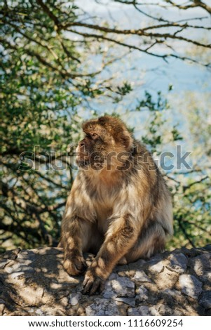 Photo of monkey at the top of The Rock of Gibraltar, British overseas territory. Photo with shallow depth of field. #1116609254