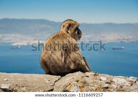 Photo of monkey sitting on a wall in Gibraltar, British overseas territory. Photo with shallow depth of field. #1116609257
