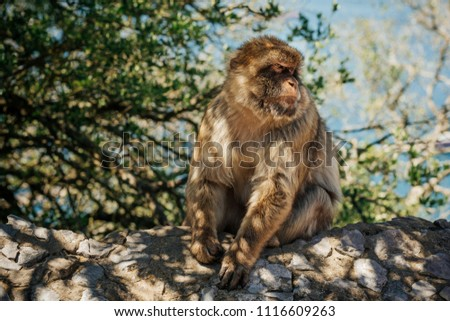 Monkey sitting on a wall at the top of The Rock of Gibraltar. Photo with shallow depth of field. #1116609263