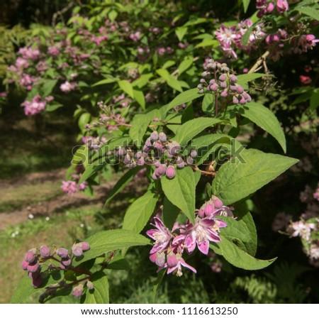 Deutzia x hybrida 'Strawberry Fields' in a Country Cottage Garden in the Village of Marwood in Rural Devon, England, UK #1116613250