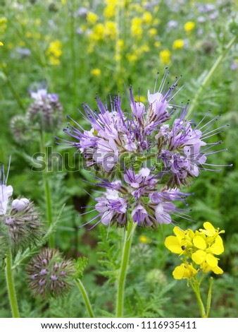 phacelia violet flower purple melliferous field summer bee apiary beegarden  #1116935411
