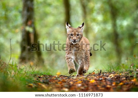 Young Lynx in green forest. Wildlife scene from nature. Running Eurasian lynx, animal behaviour in habitat. Cub of wild cat, Germany. Wild Bobcat between the trees. Hunting carnivore in autumn grass. #1116971873