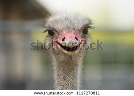 Portrait of a smiling ostrich #1117270811