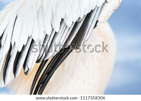 Abstract close-up great white pelican wing diagonal composition #1117358306