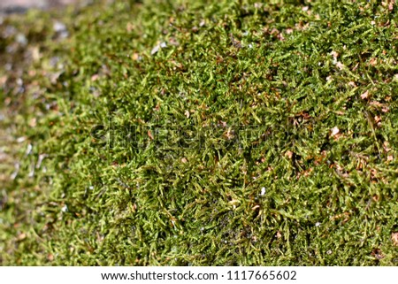 Green natural moss on grunge texture, background. Shallow focus. Filled full frame picture. Show with macro view in forrest #1117665602
