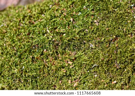 Green natural moss on grunge texture, background. Shallow focus. Filled full frame picture. Show with macro view in forrest #1117665608