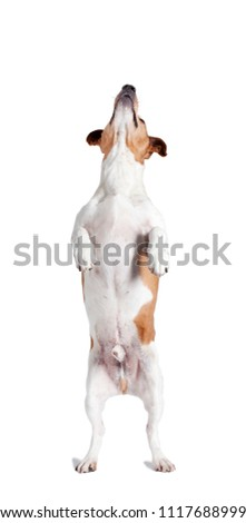 a Jack Russel stands on his hind legs and looks up, isolated #1117688999