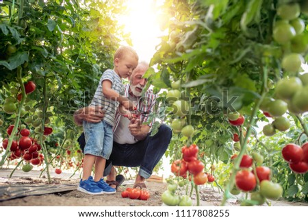Grandfather and his grandson in a greenhouse, they are picking tomato together. #1117808255