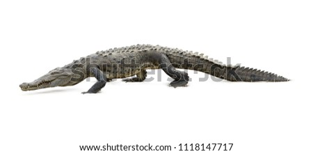Isolated on white background, American Crocodile, Crocodylus acutus walking on the sandy beach. Crocodile in its natural environment. Tarcoles river, Costa Rica.  #1118147717